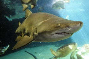 A Shark at the New York Aquarium