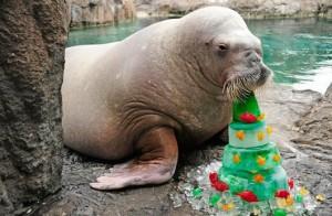 A Walrus at the New York Aquarium
