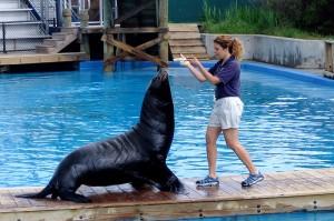 California Sea Lion - Seal - Show at the New York Aquarium