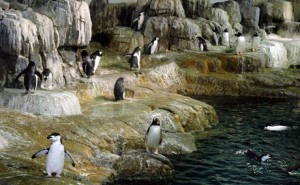 Penguins at the Central Park Zoo